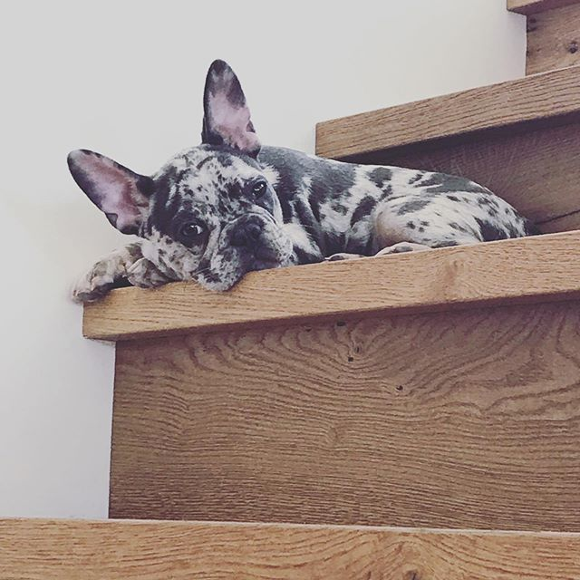 Stairs are just so much work. #frenchbulldog #lifebyparker