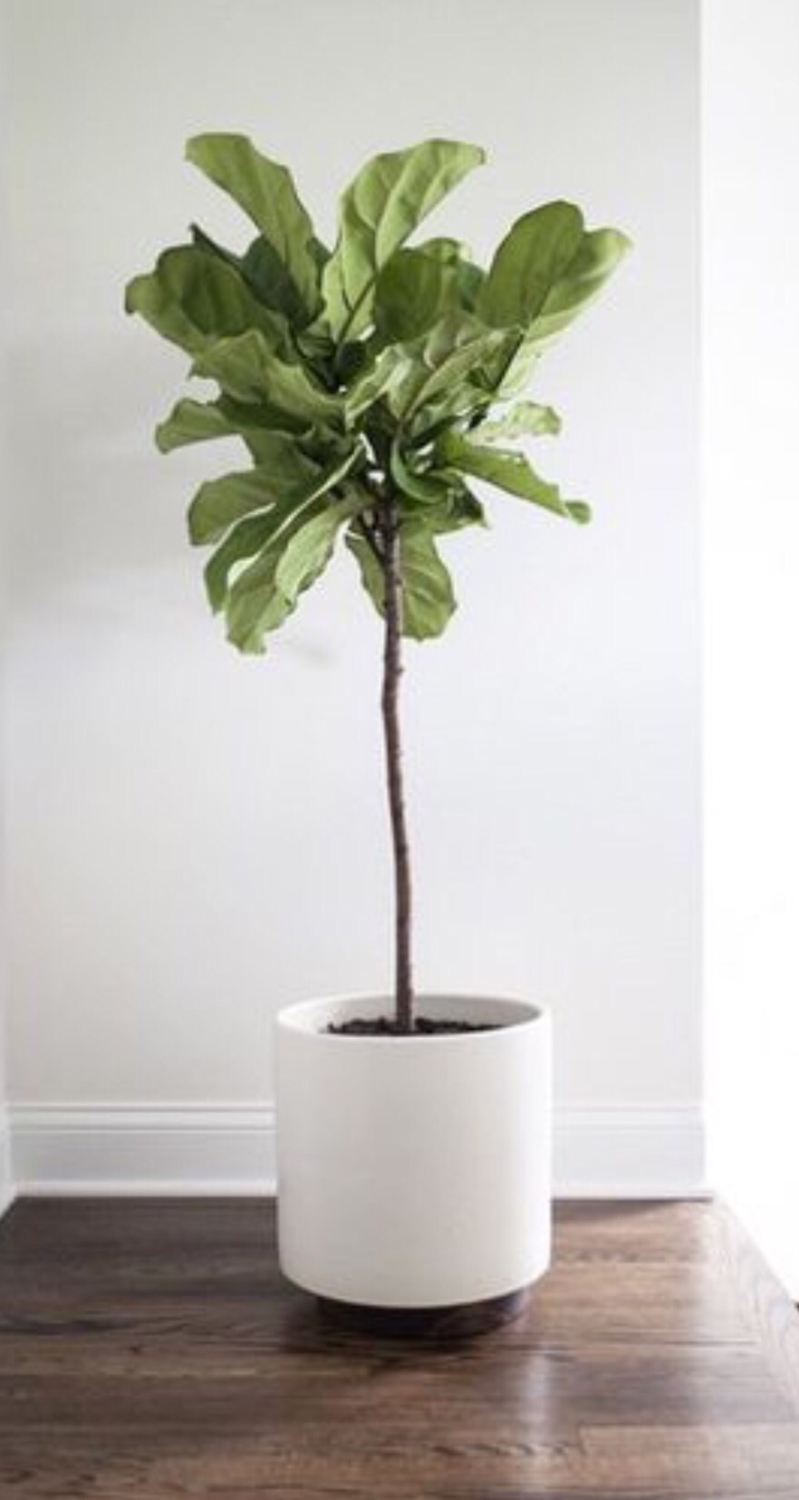 Fiddle leaf fig tree.  The minimal pot is so beautiful, such a chic and modern update to a terra cotta or woven pot.