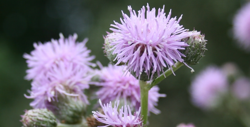 Canada Thistle: Flickr user born1945, Creative Commons Attribution 2.0 Generic