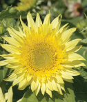 sunflower_zpsfcaf2e6f.PNG