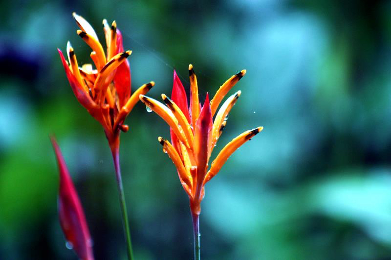 CR, More Heliconia.jpg