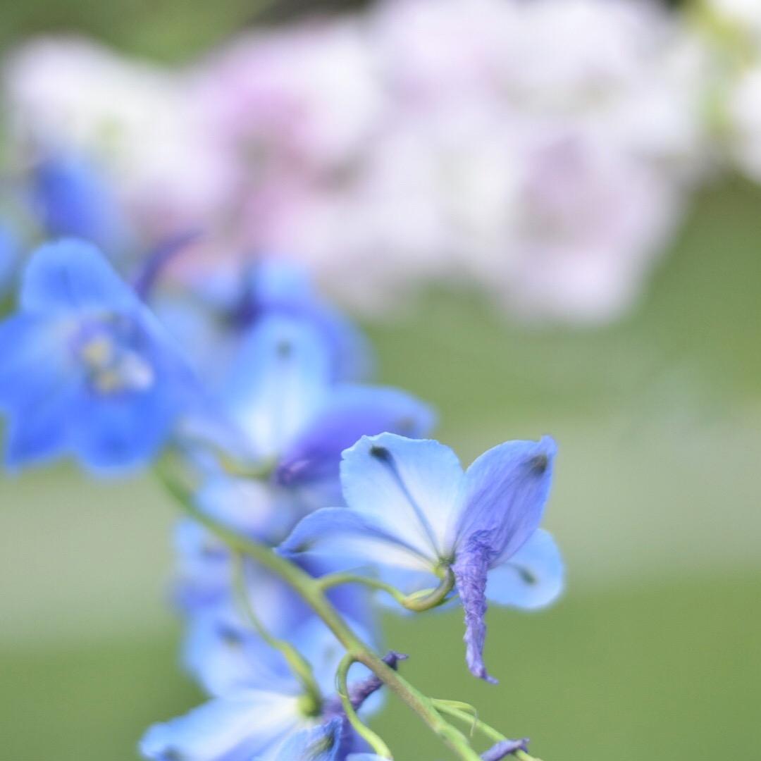 Delphinium Lark Floral
