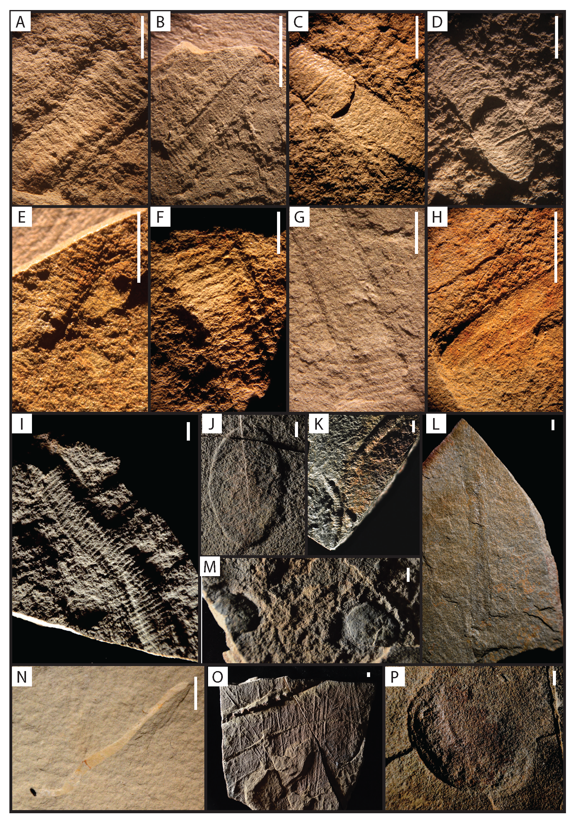 Casts and molds of tubular body fossils from Nevada