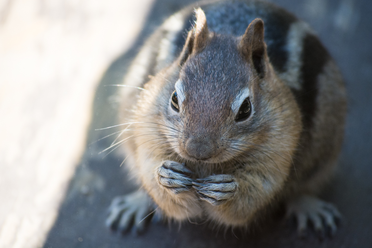 Very well-fed chipmunk