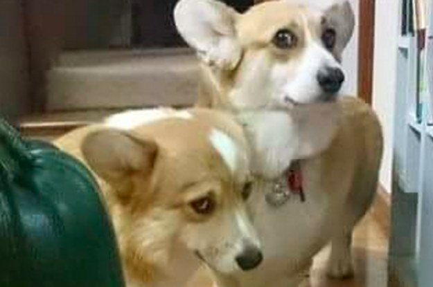 why-are-these-corgis-so-scared-of-a-giant-zucchini-2-30382-1431007981-11_dblbig.jpg