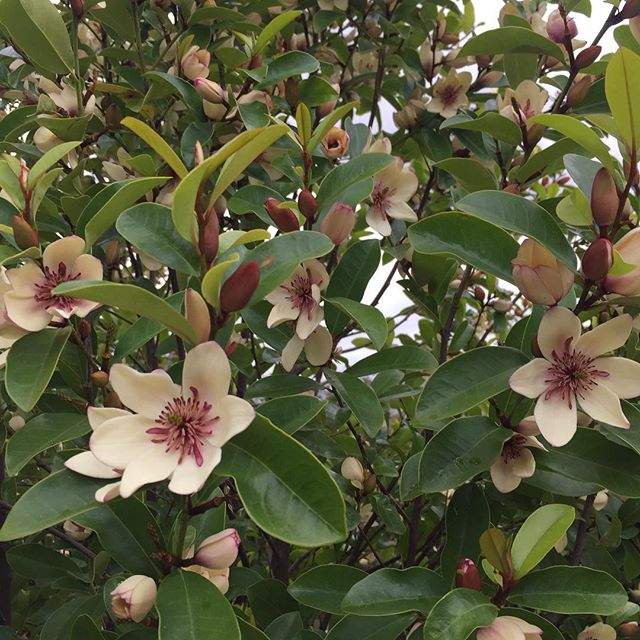 Michelia figo is a great evergreen full sun screening shrub, putting on a great show and perfume at the moment... #rightplantrightspot #landscape #melbournelandscaping #landscapeconstruction