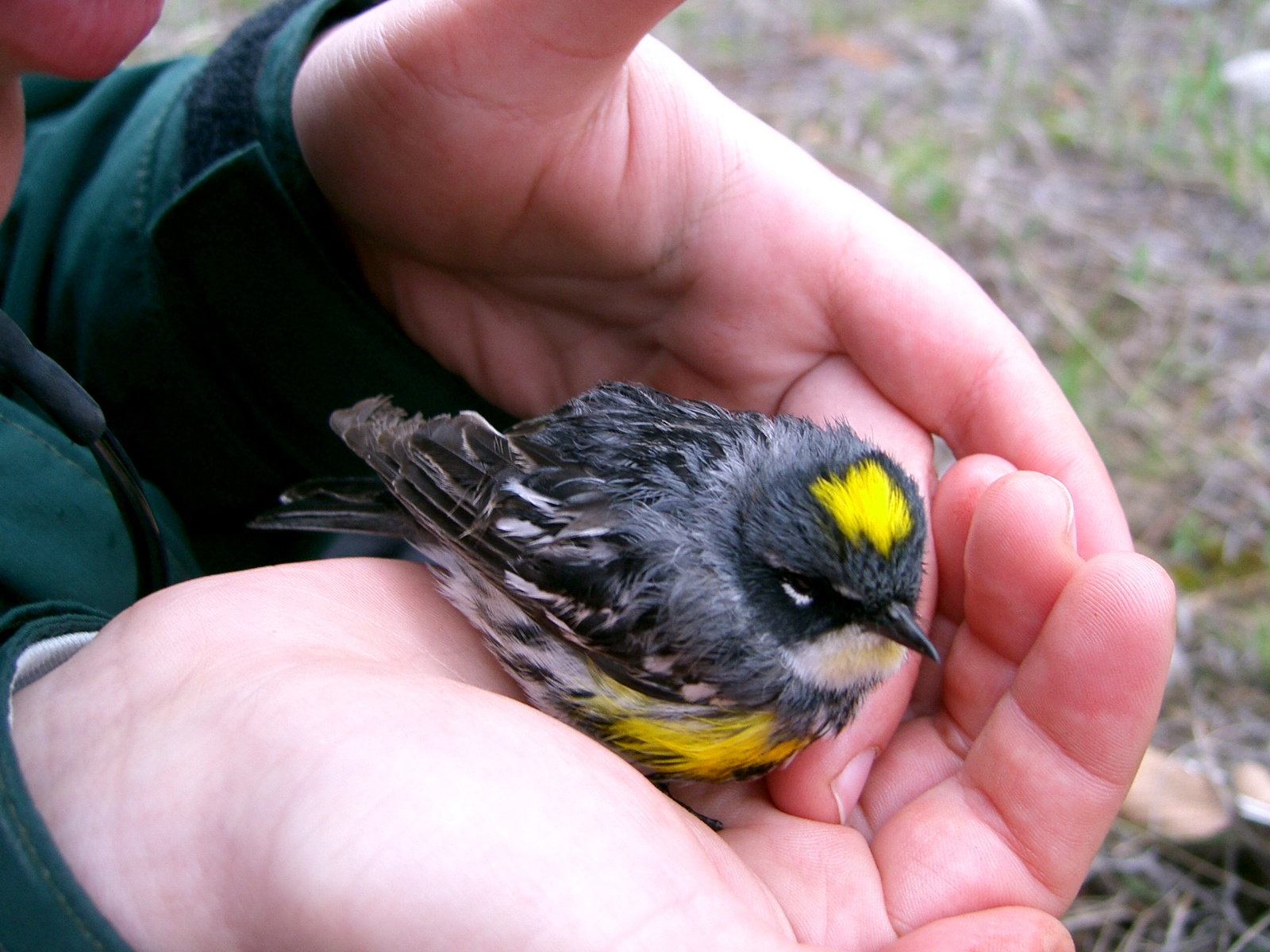 Yellow- rumped warbler in hand (hybrid- light yellow chin wash).jpg