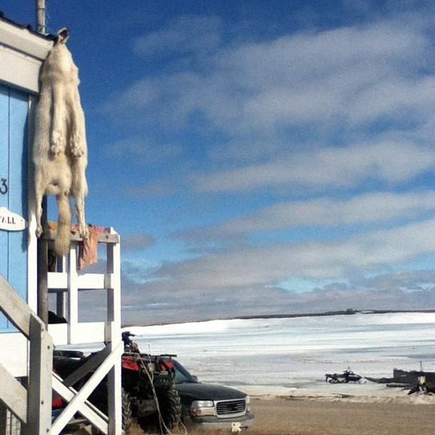 Arctic Hide.jpg
