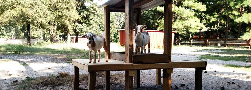 Deer Lake Ranch Resort Goats.jpg