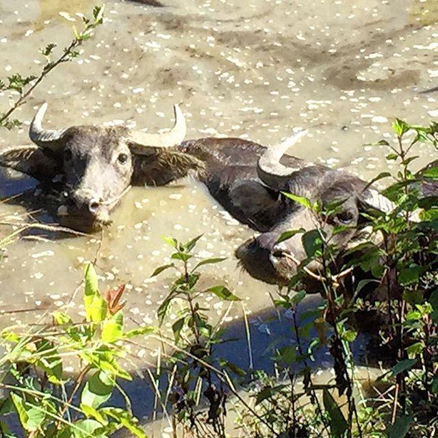 Swimming buffalo !!