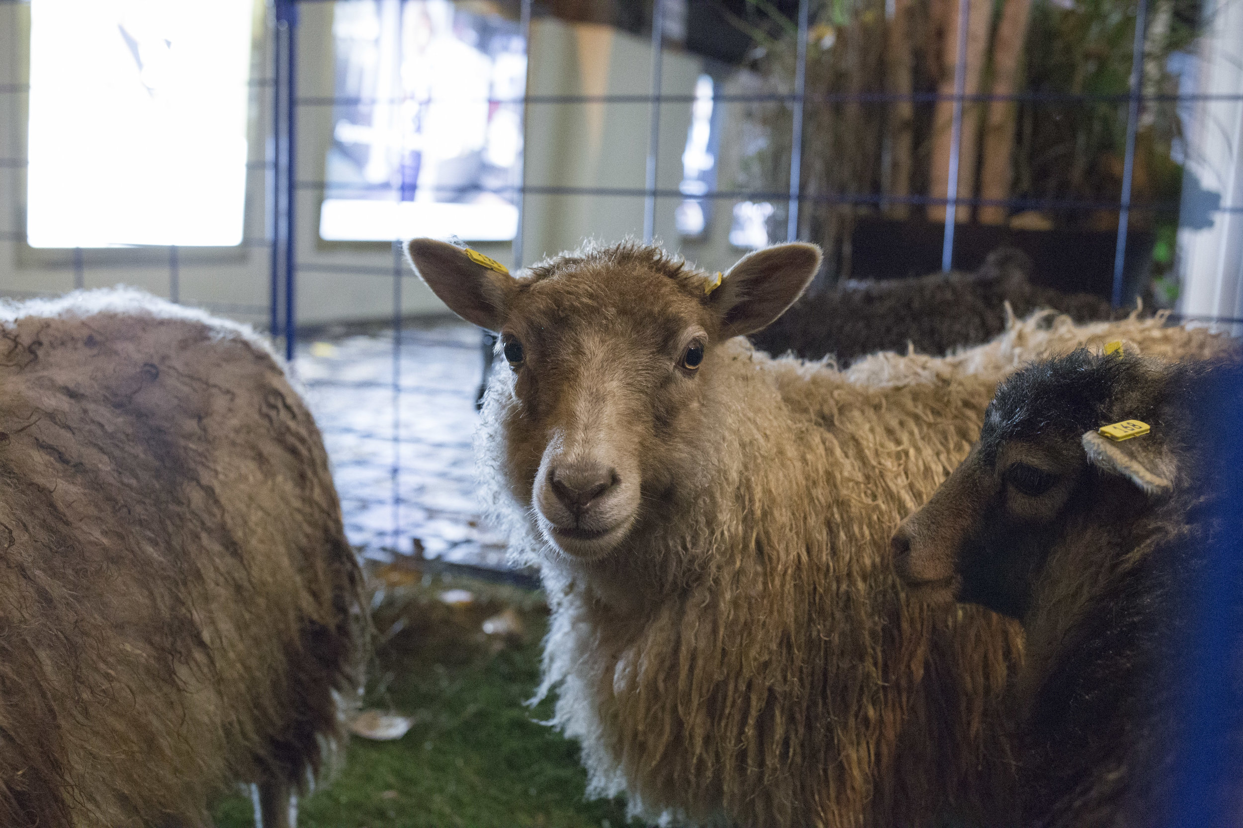 shetland sheep from Chassange farm, Ontario
