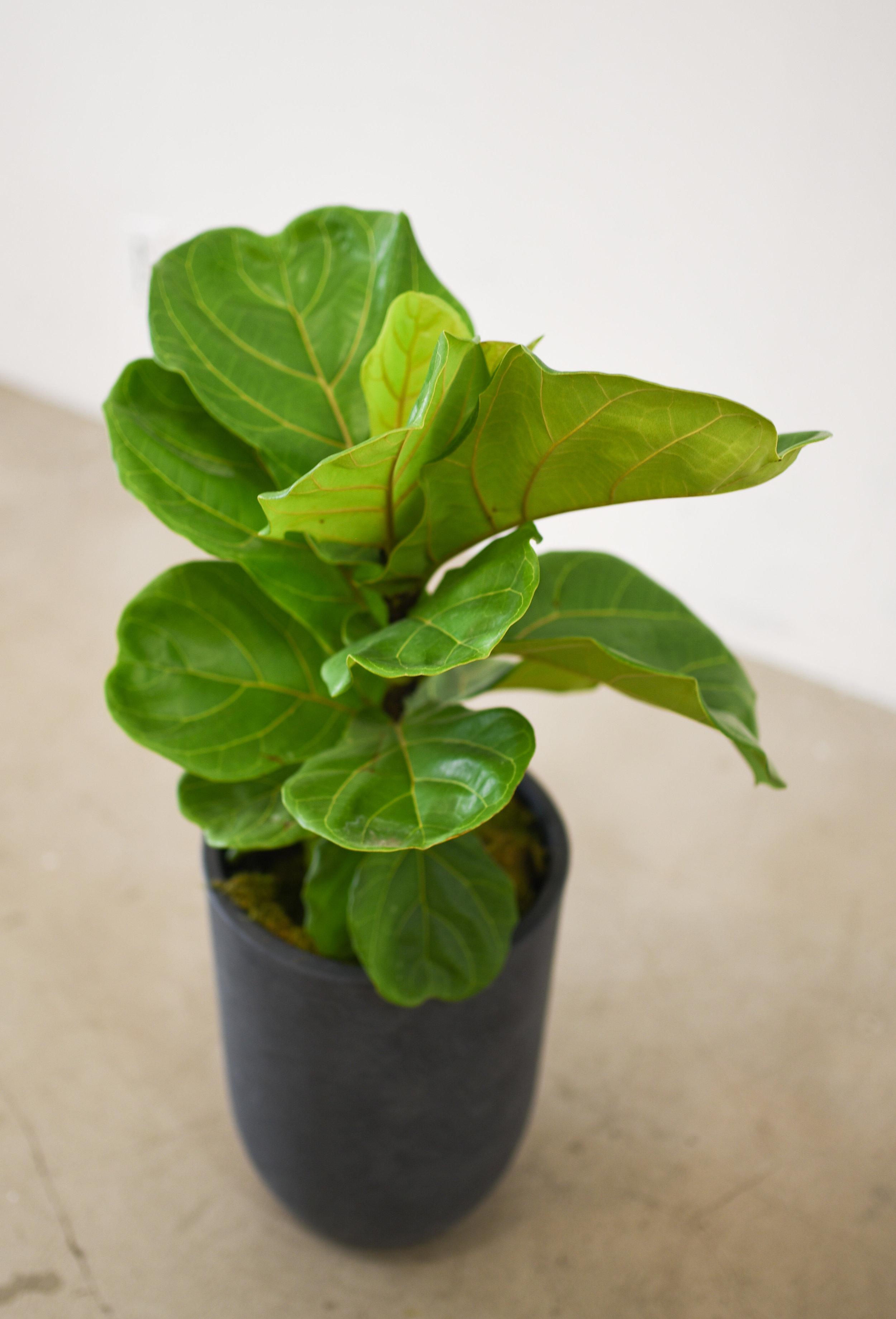 A baby Ficus Lyrata