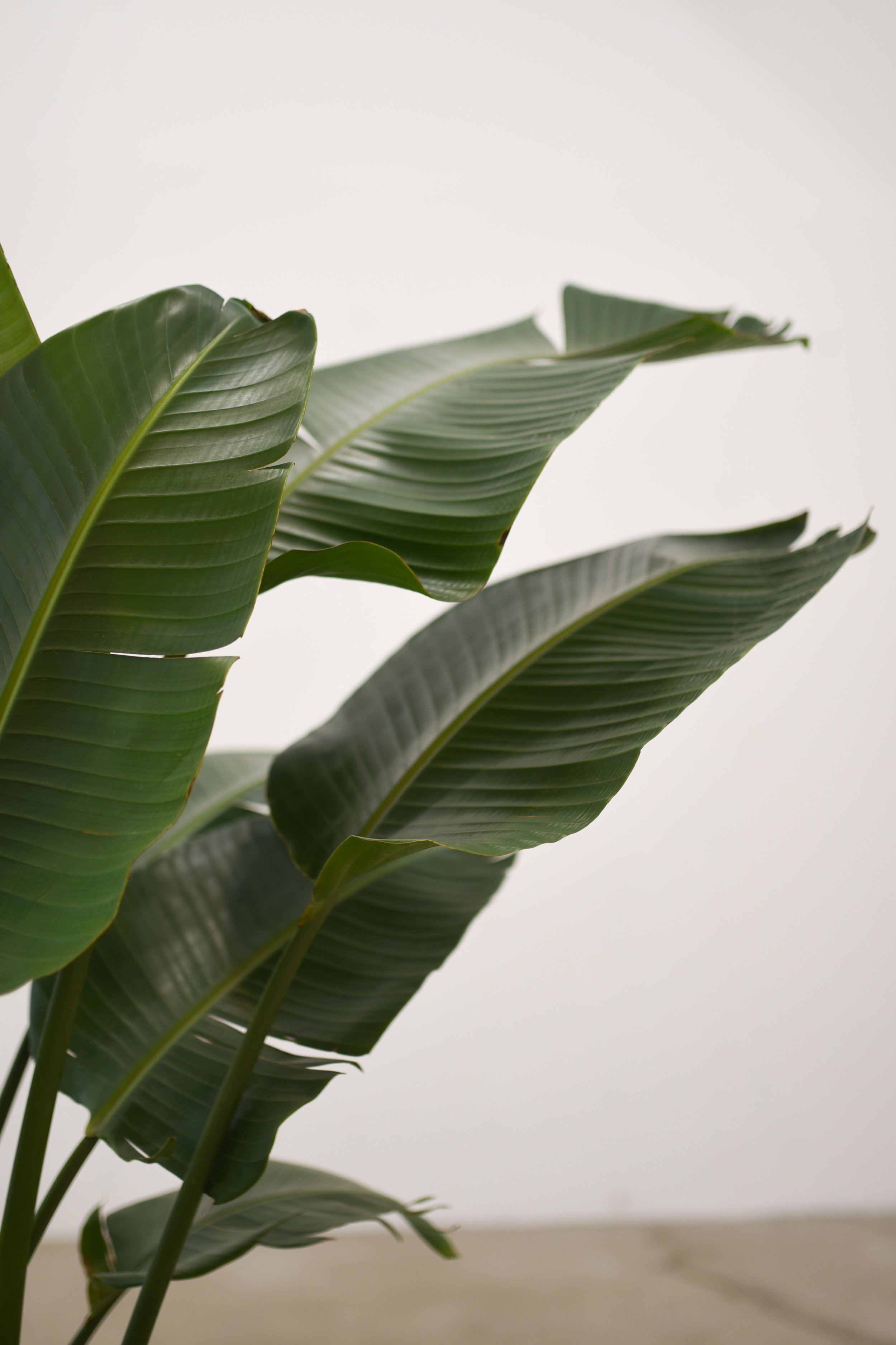 Bird of Paradise leaves