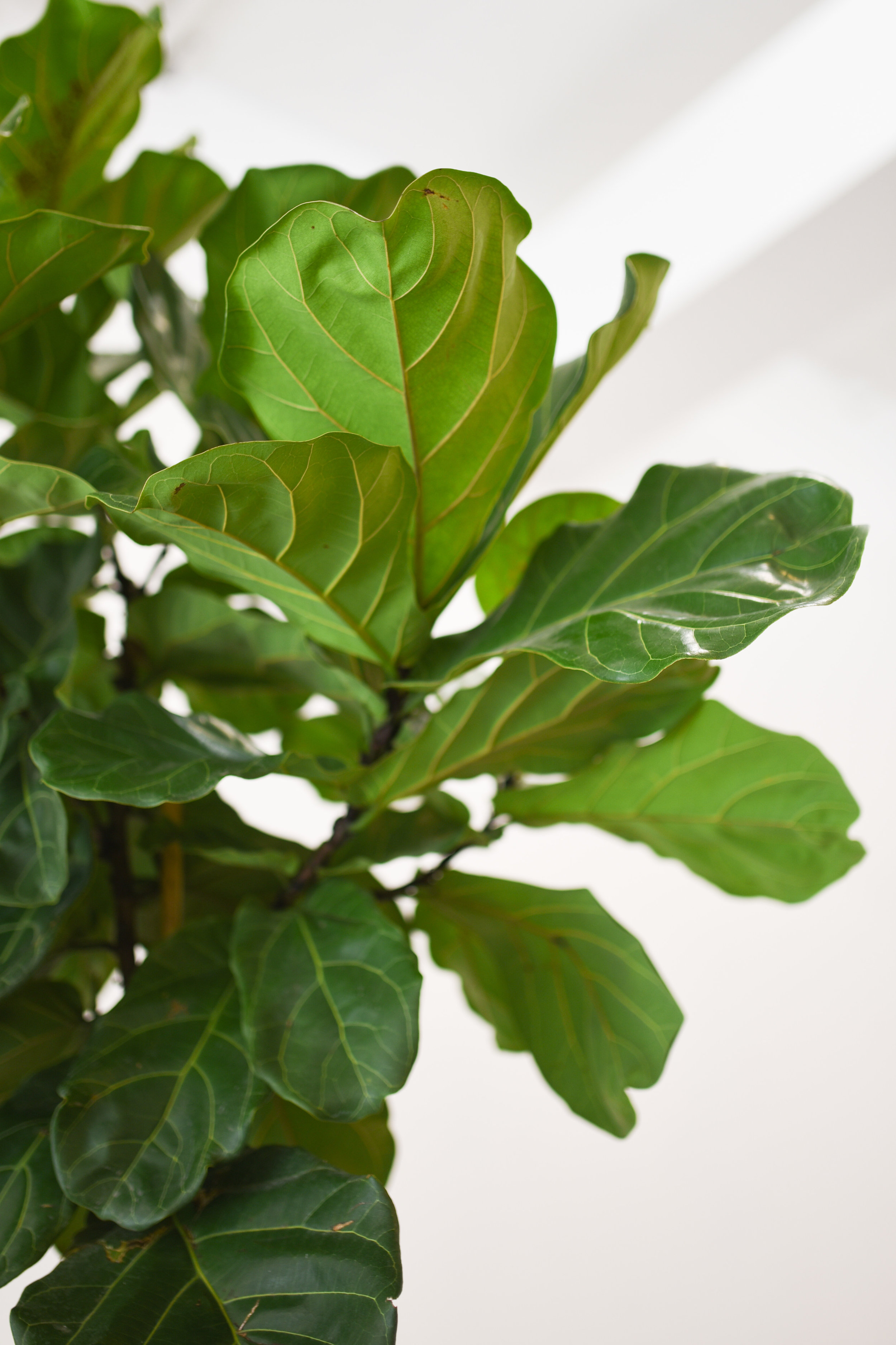 The leaves of Ficus Lyrata can be delicate, but so pretty!