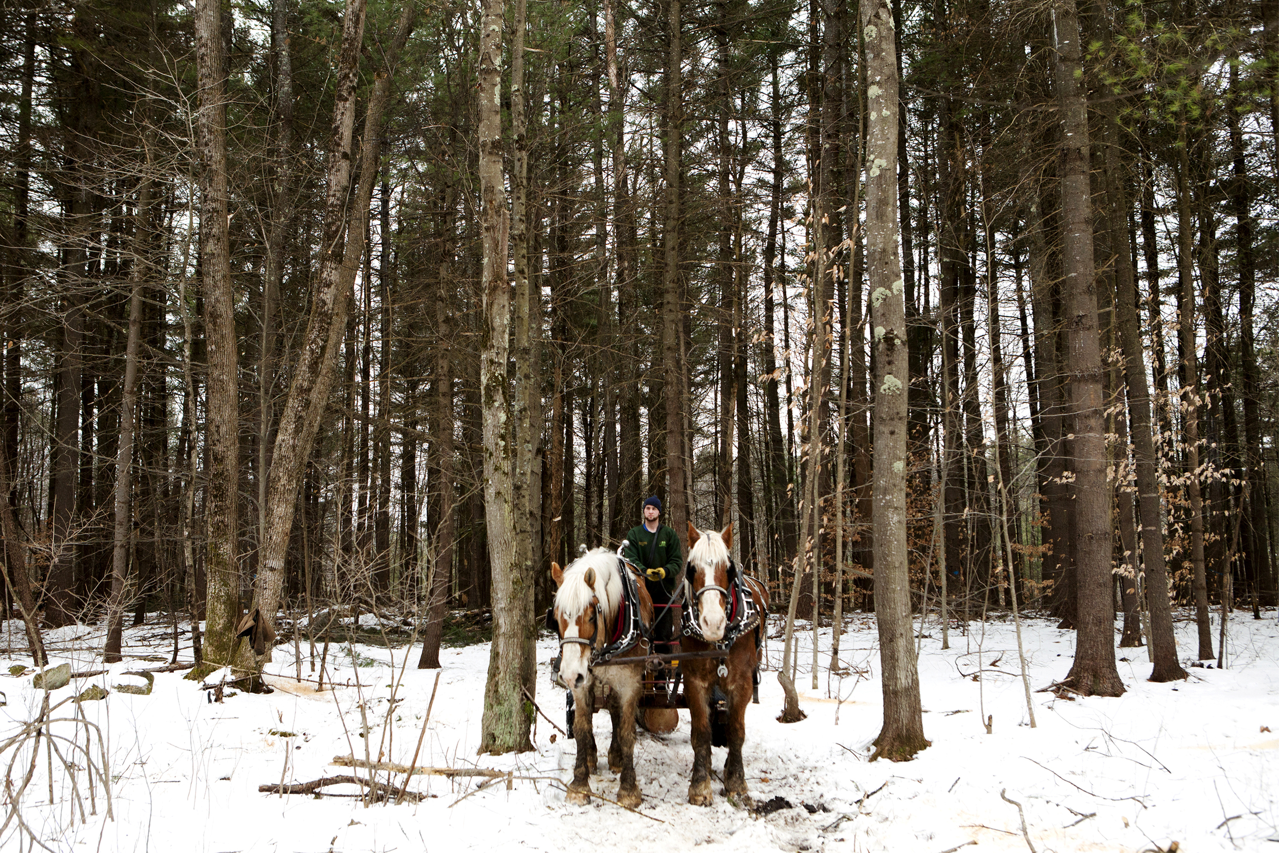 Jackson Riel and  his team of draft horses, Captain, left, and Duke, pull a freshly cut pine out of the woods behind Grange Hall in Chichester, N.H. on February 1, 2014. The Chichester Conservation Commission thinned out the woods using draft horse teams in order to make the selective cut logging job as low impact as possible.