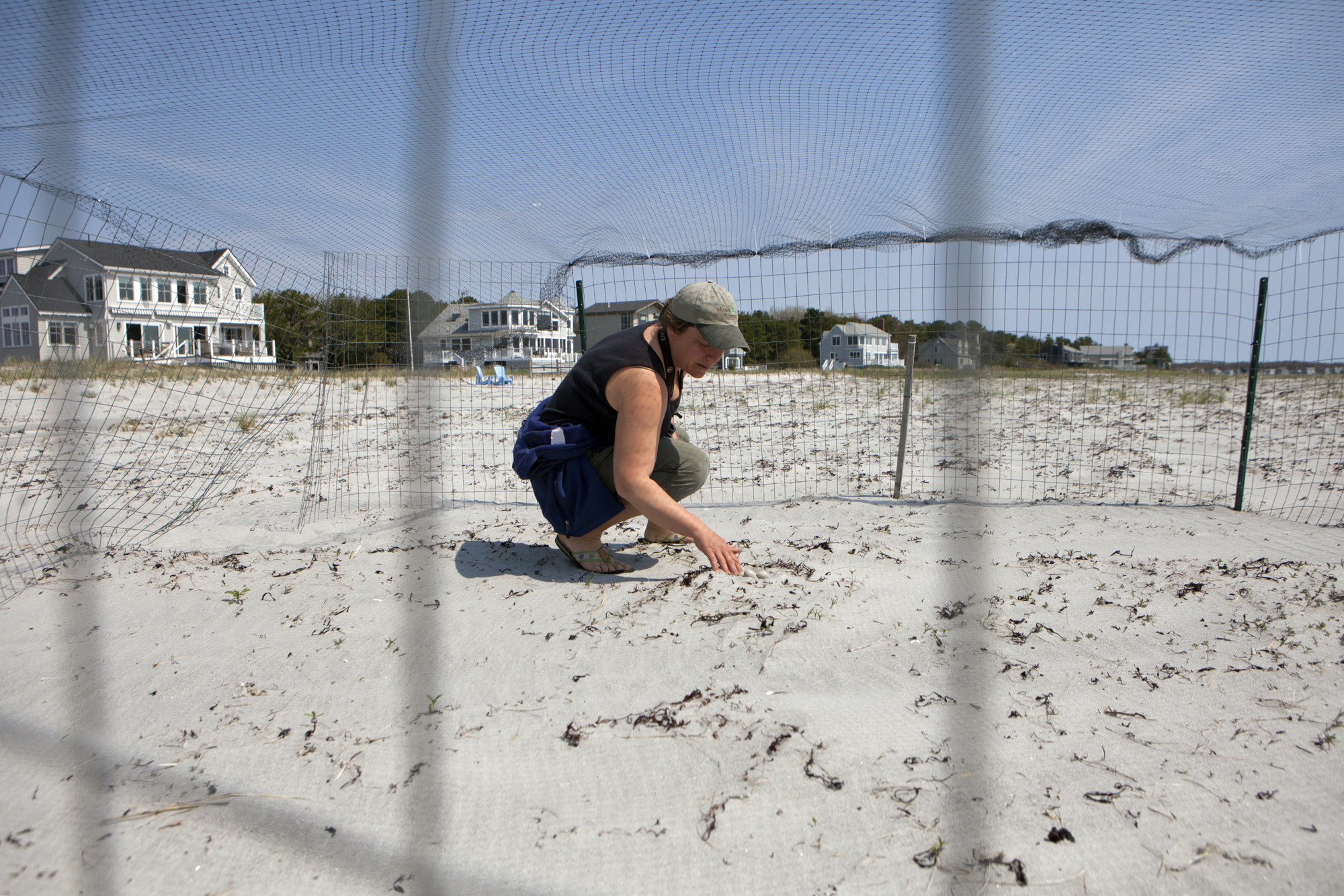 Laura Minich Zitske, director of Maine Audubon's coastal birds project, uncovers an abandoned Piping Plover nest at Goose Rocks Beach in Kennebunkport, Maine on May 17.