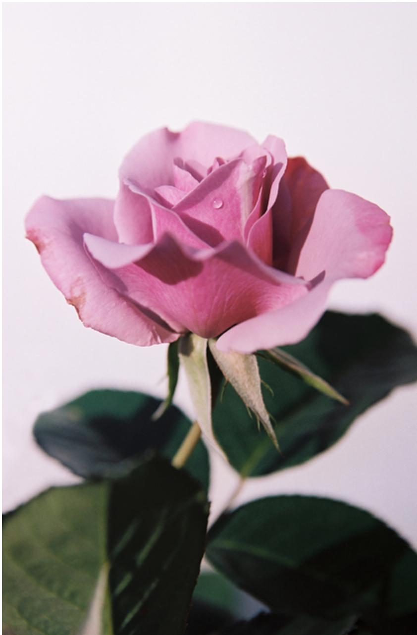 Lovely Thorns, Singing Vultures (lavender rose), Logan White GALLERY: Myla Dalbesio
