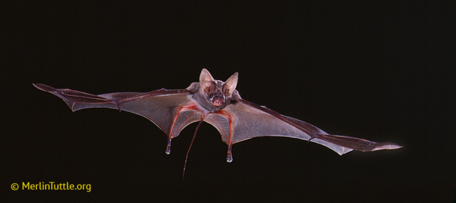 Lesser mouse-tailed bat (Rhinopoma   hardwickii  ), in flight in Kenya.     Photo by: Merlin Tuttle's Bat Conservation