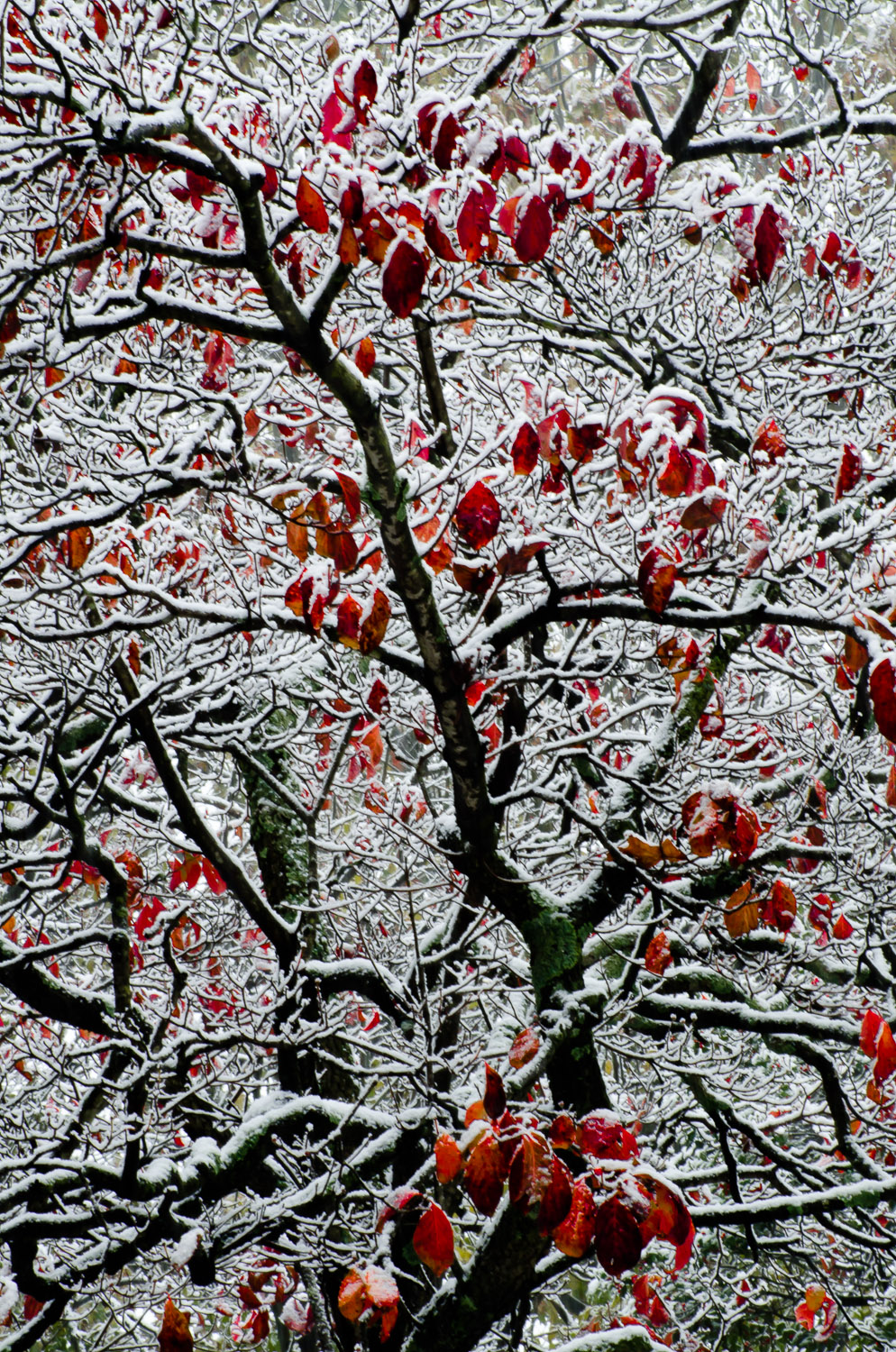 Dogwood in Early Snow
