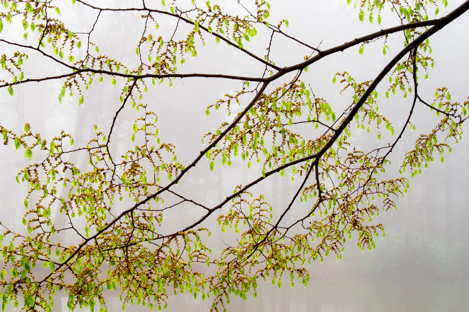 Early Spring Leaves on Foggy Morning