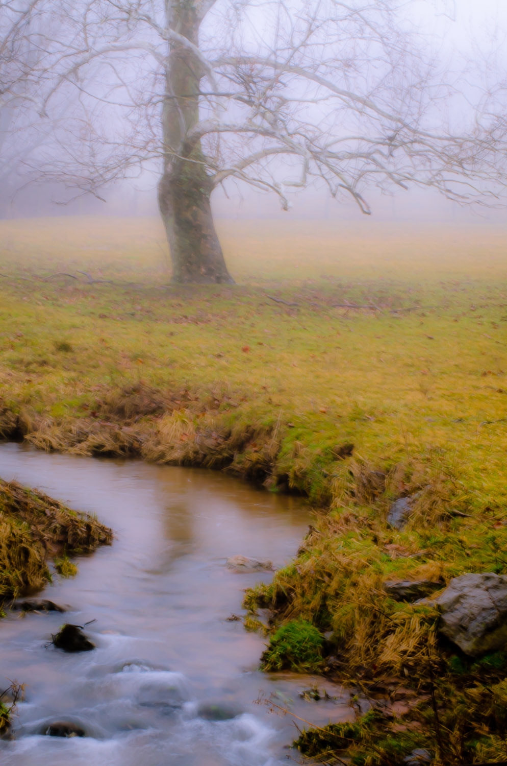Sycamore in Misty Meadow