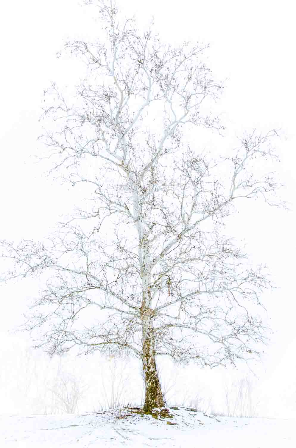 Sycamore in Winter
