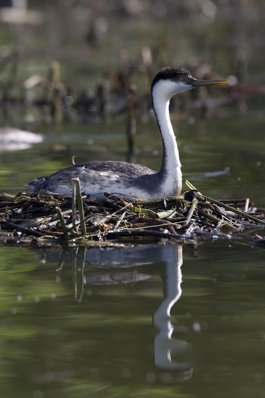 Grebe sitting on nest   image courtesy of Cathy Buse