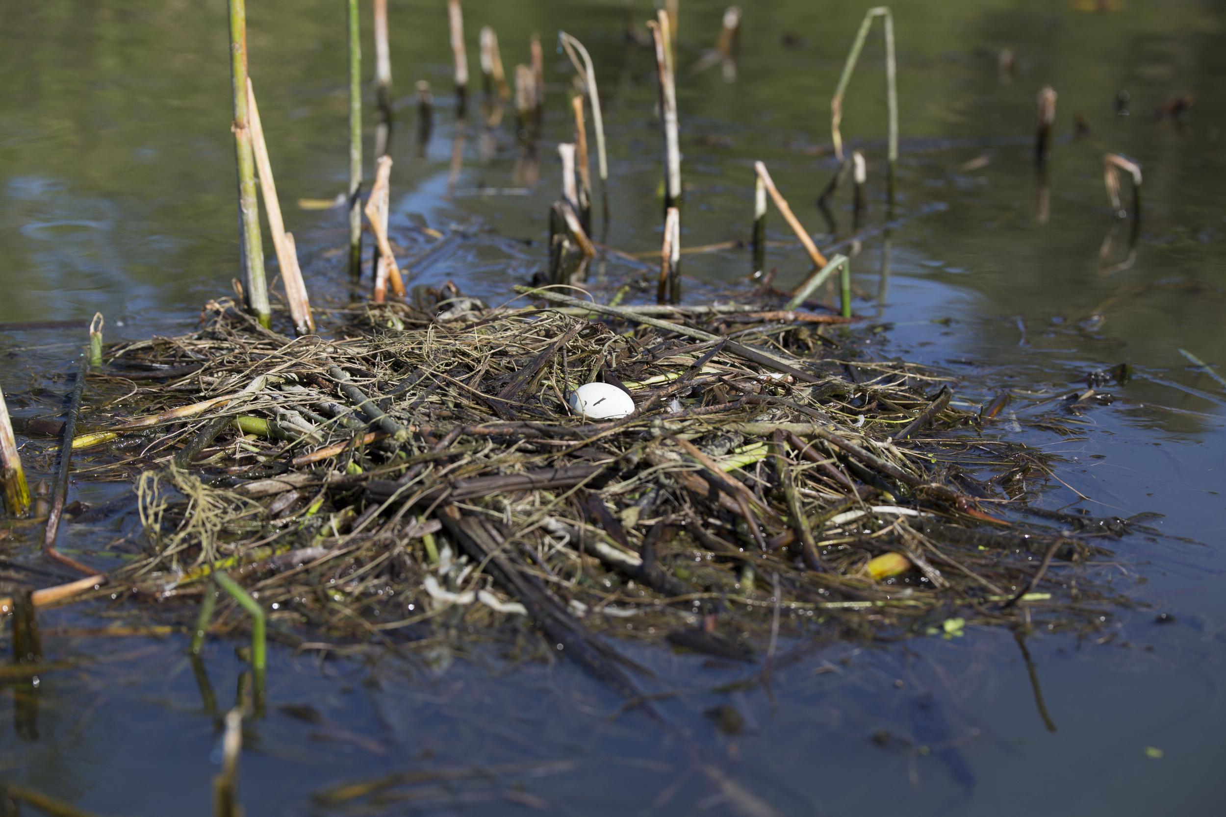 Grebe nest   image courtesy of Cathy Buse