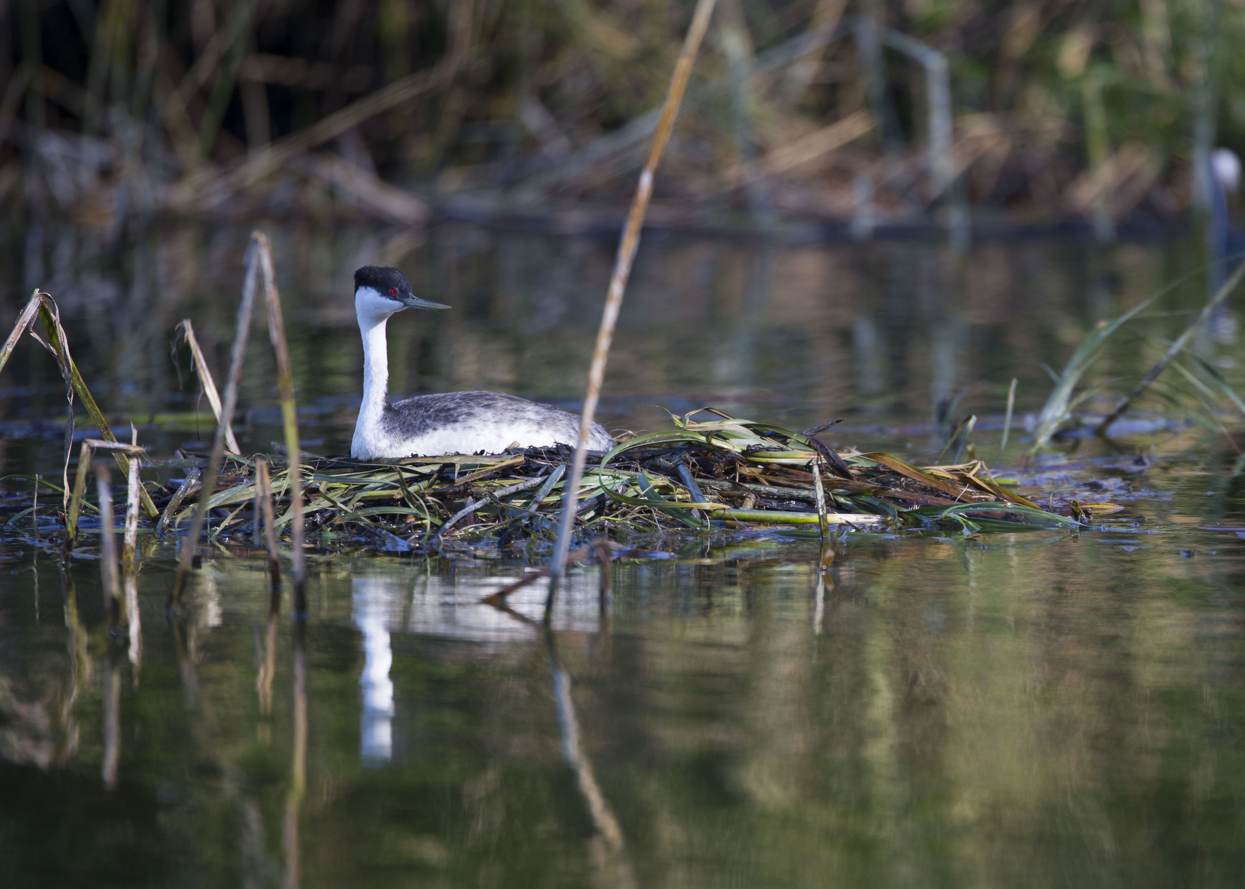 nesting Grebe                                         image courtesy of Cathy Buse