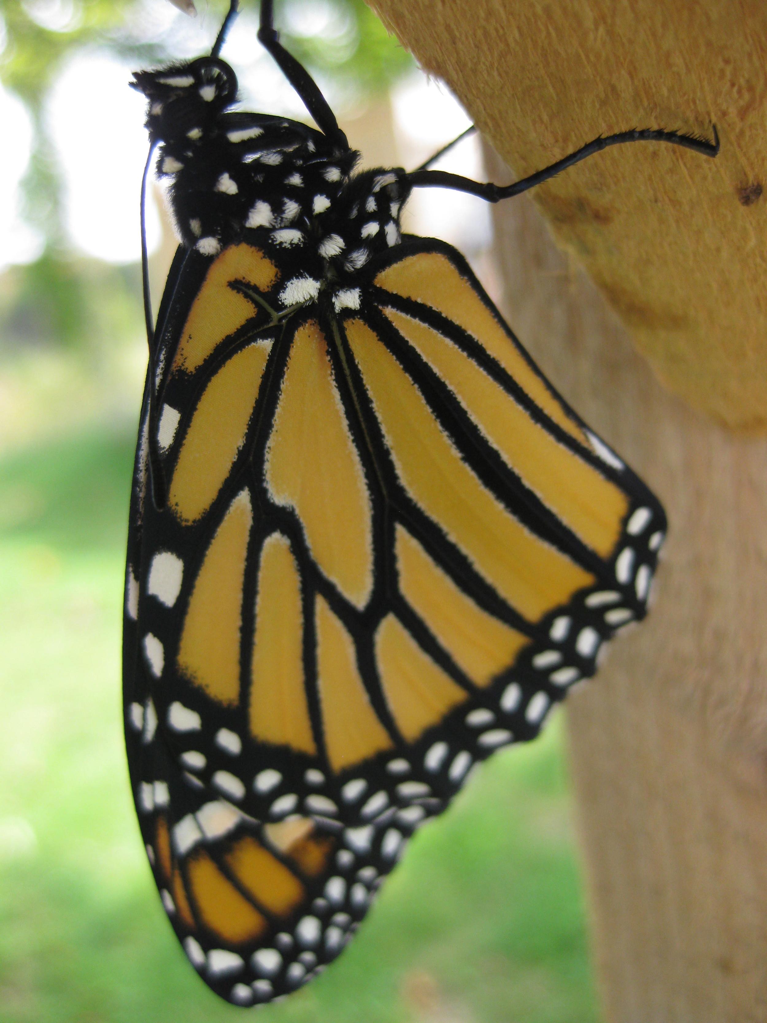 Save the Monarchs!