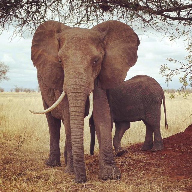 The money shot on our Tanzanian honeymoon safari. Temboooooooooooooos!