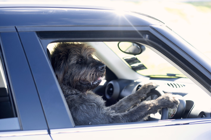Monty - SPCA Driving Dogs