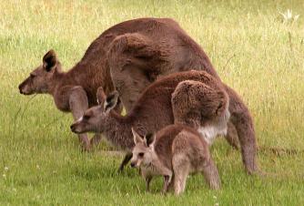 kangaroos_wombalano.jpg