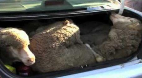 Sheep in the car boot.jpg