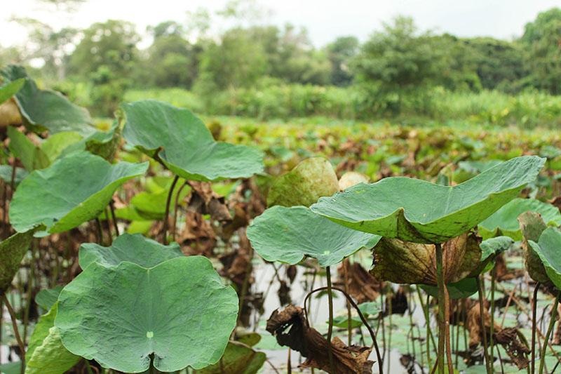 The enchanting Lotus Lagoon