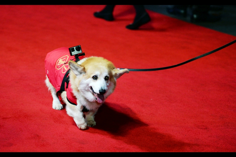 Somebody has put a GoPro onto a corgi, and depending on the quality of its online journal it might not be A.I. or cheap South Koreans who finally drive me out of the 'free online / non-ad-revenue supported' entertainment website business....
