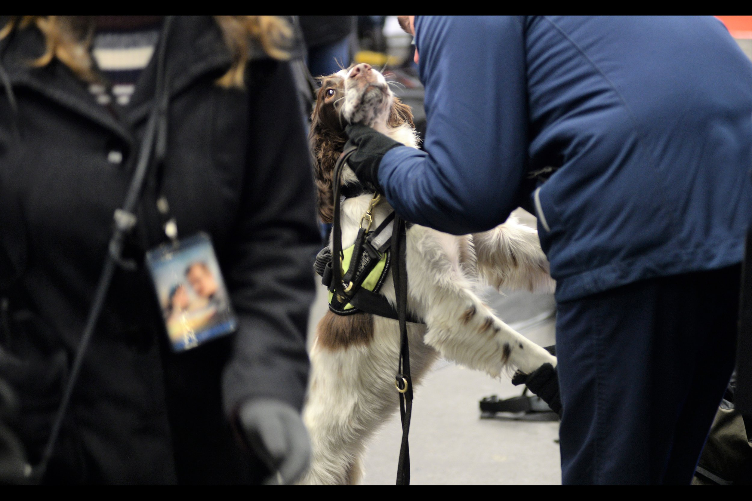 Awwwwww....cute security / explosives-sniffing dog. Would probably bite off your hand if your bag or its content smells weird, but nicely affectionate otherwise.