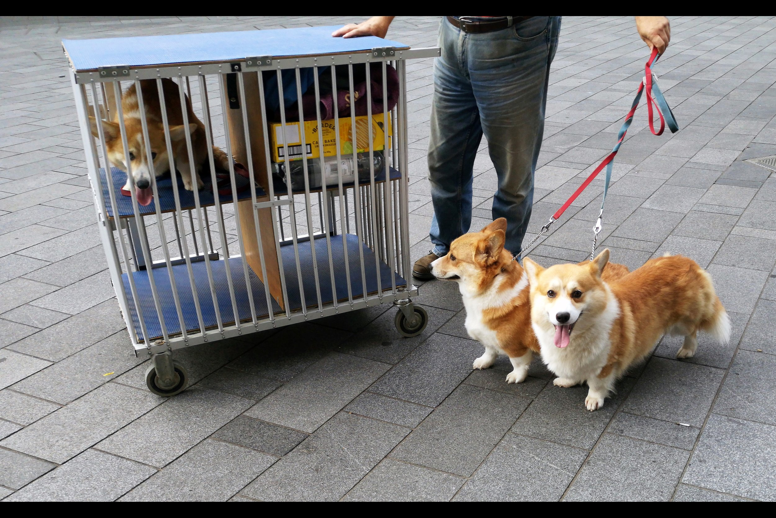 It occurs to me now that perhaps these corgis might have been motion captured for the animated characters shown on-screen in the movie - they certainly aren't physically in it. But I have to assume if you really truly cared, and needed a corgi motion captured for a CG-movie, you'd call Andy Serkis to do it.