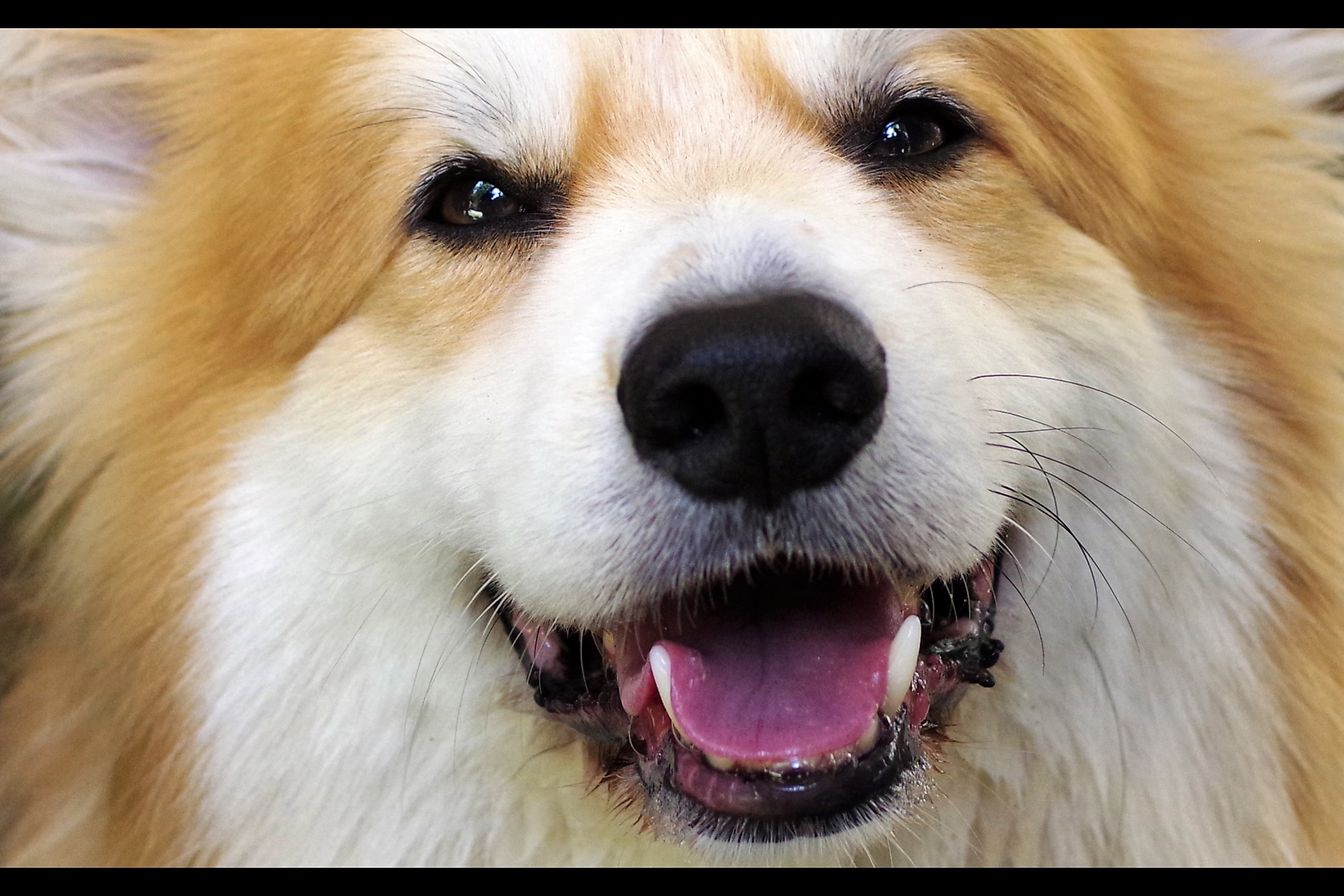 Sadly, all corgis look alike to me so I can't tell whether this one is cheerfully wanting to be patted, or imagining with pleasures the horrors it would inflict upon me given half a chance.