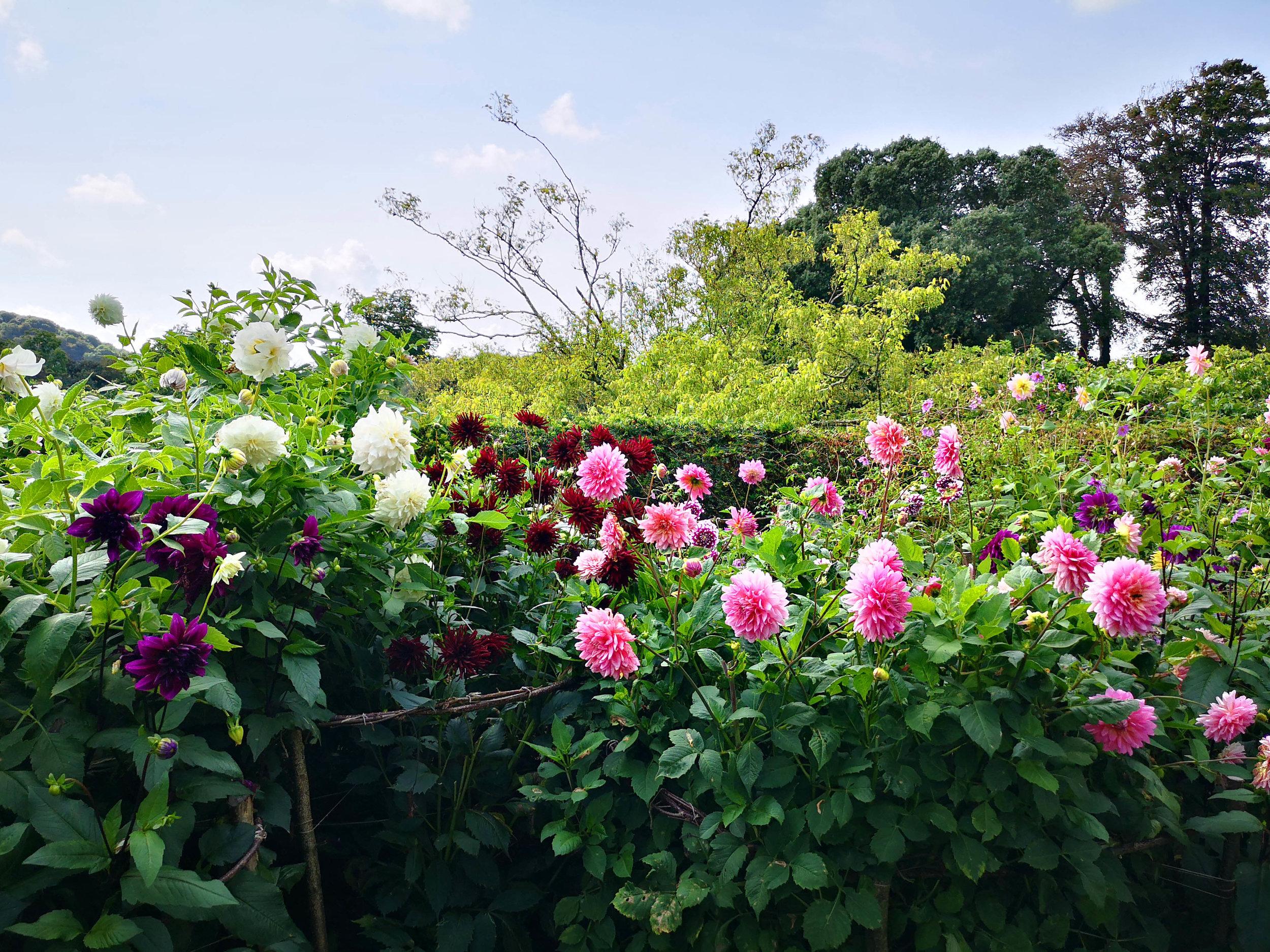 Dahlia garden - Agatha Christies.jpg