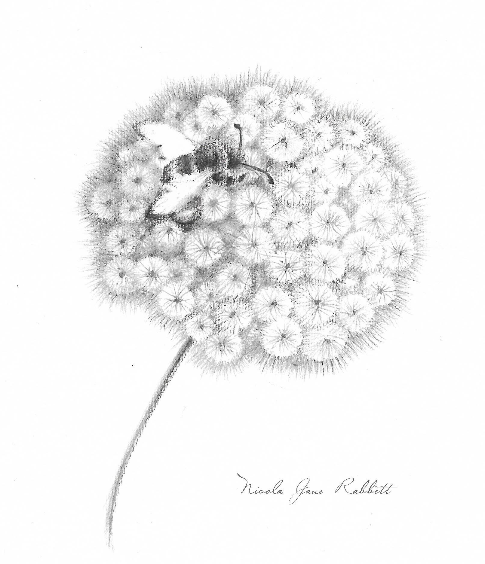 bumblebee & Dandelion Clock - I have been working on new monochrome drawings to exhibit @Chester-Arts-Fair.today. This one's a work in progress, but I'll hopefully have it finished soon.