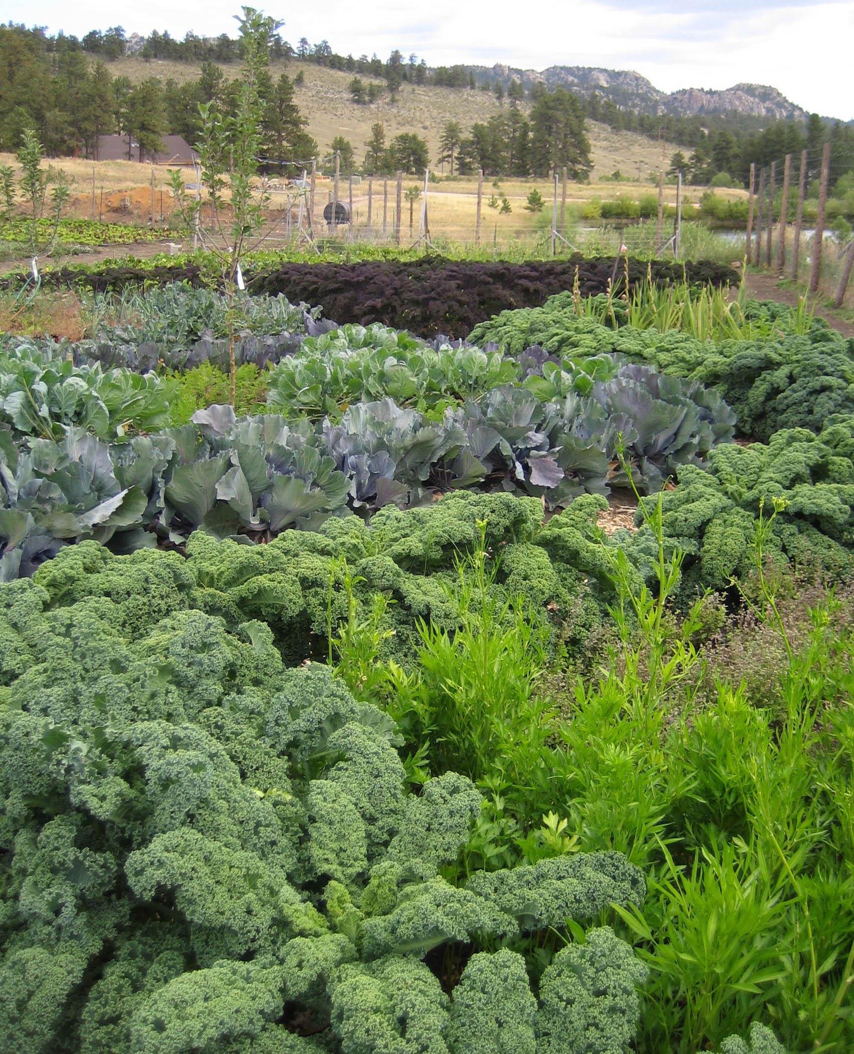 SMC farm cabbage patterns.jpg