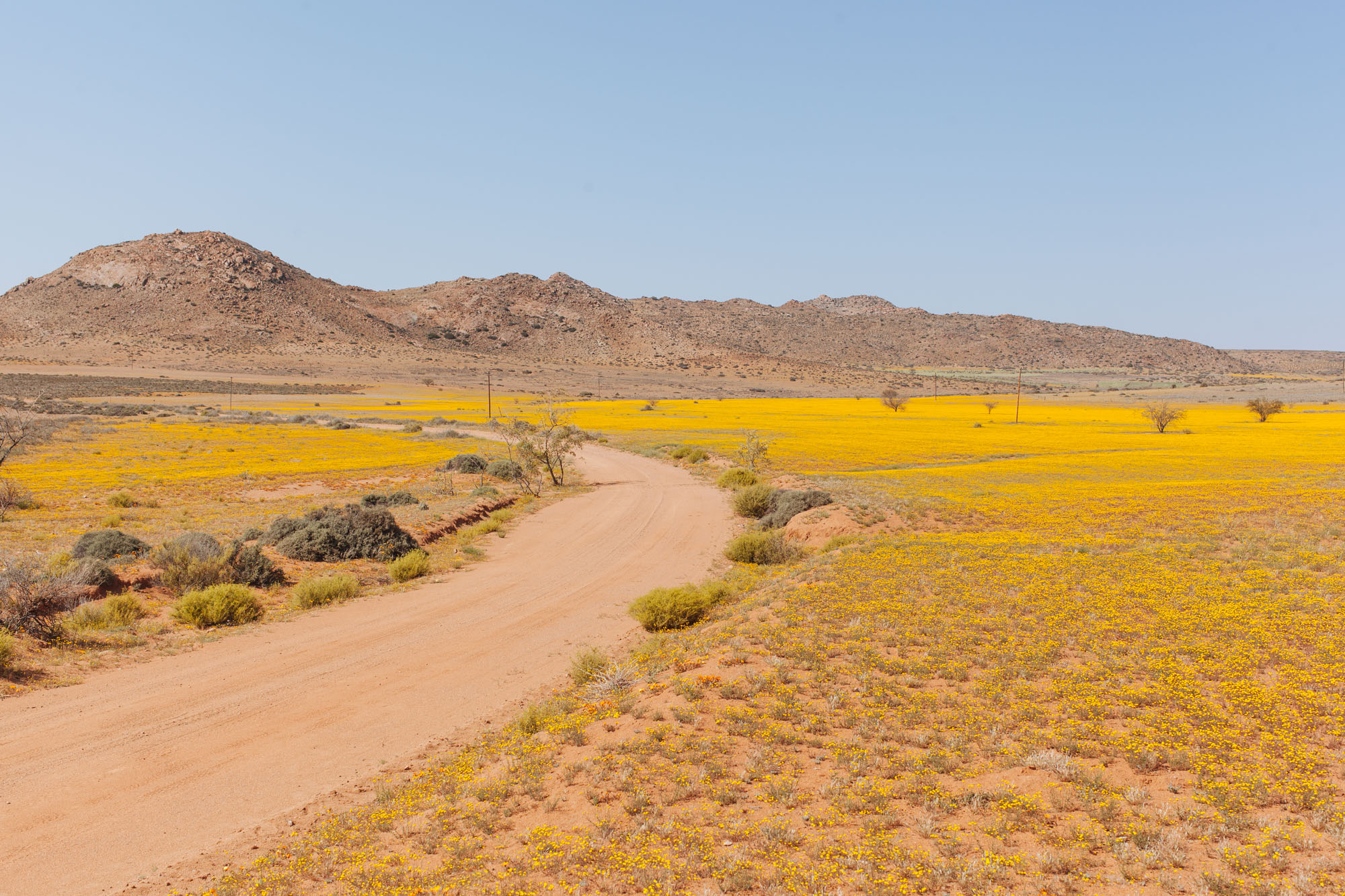 A sea of Namaqualand daisies.