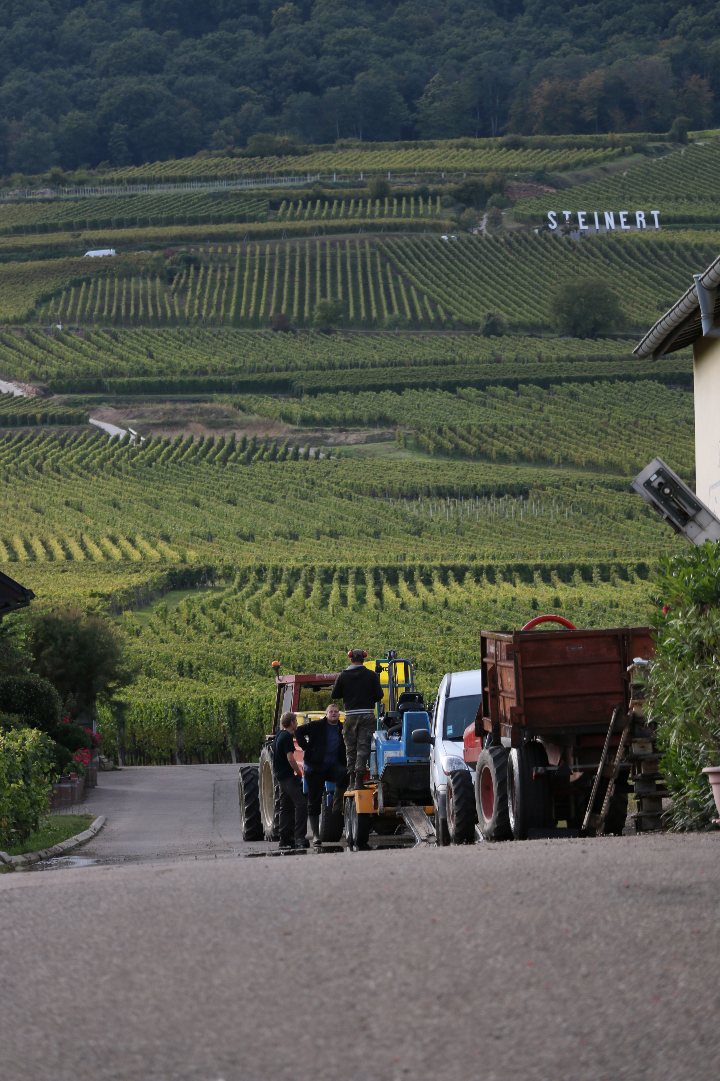 A typical scene during harvest in Alsace.