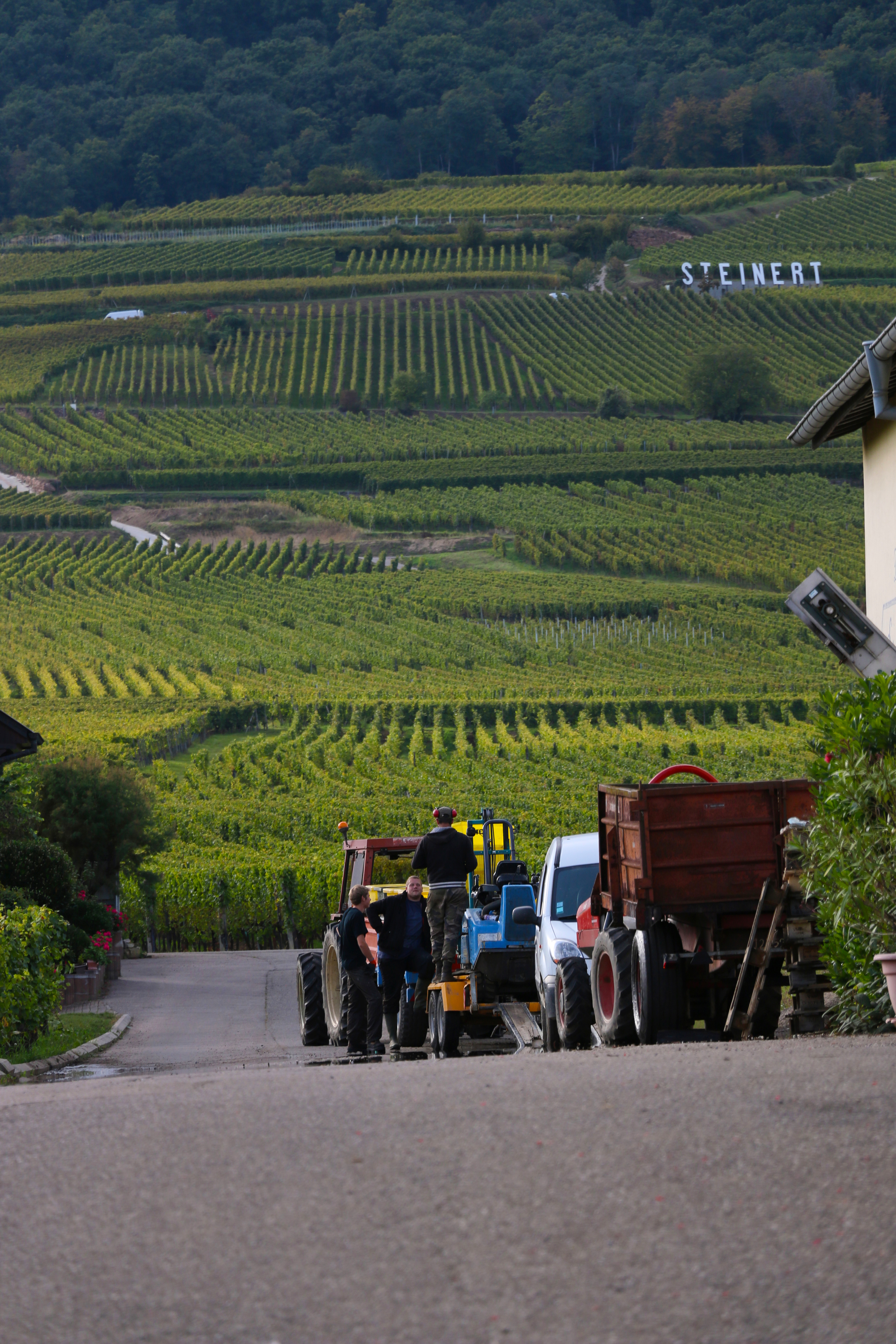 Harvest time in Alsace, France at  Domaine Rieflé