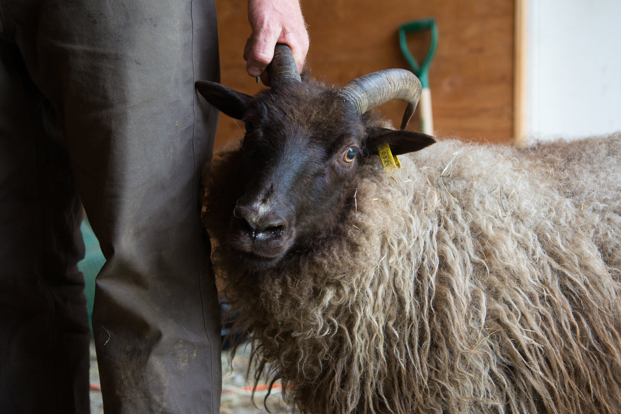 FEF Shearing May 2017-90.jpg
