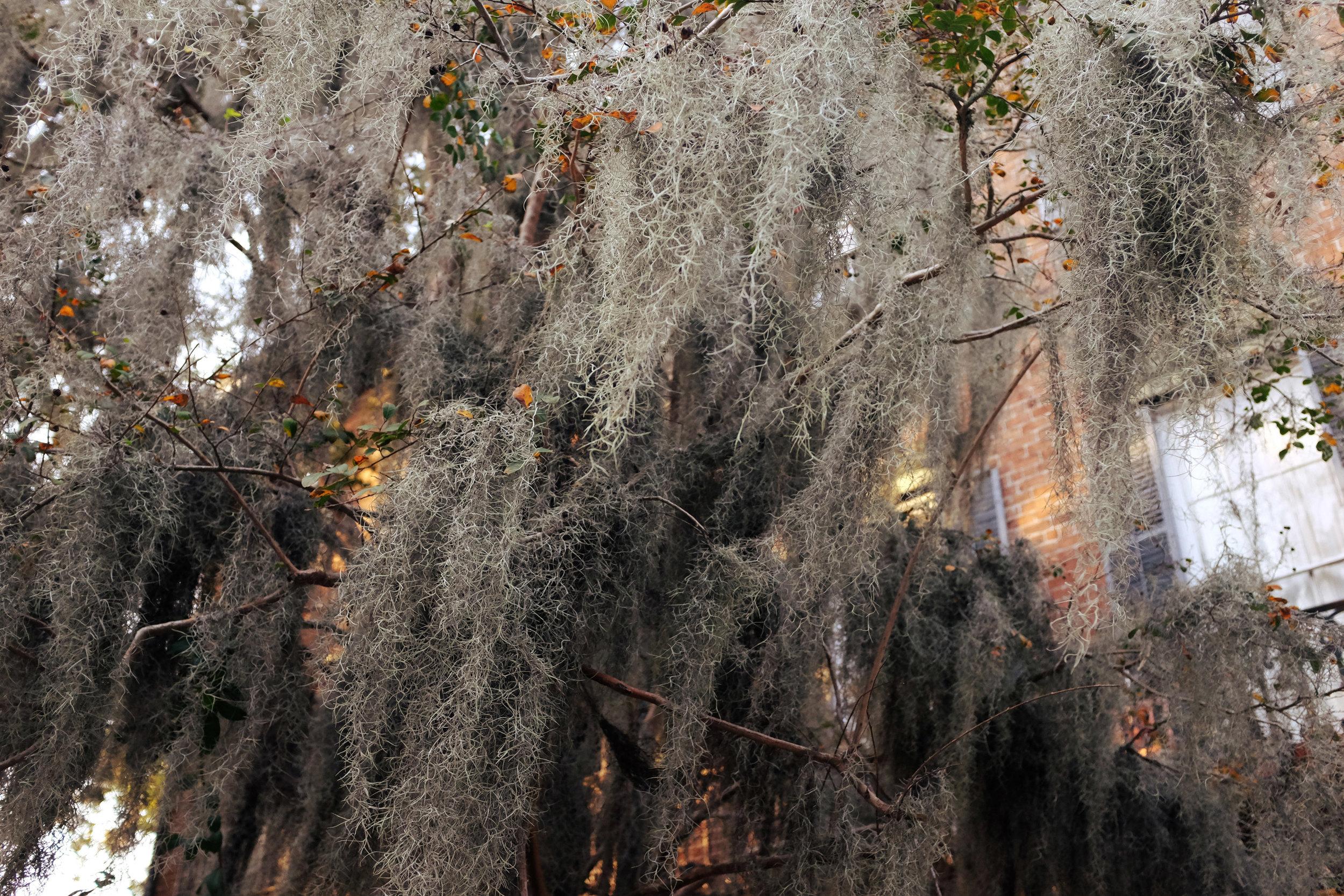 Spanish Moss, Savannah Georgia