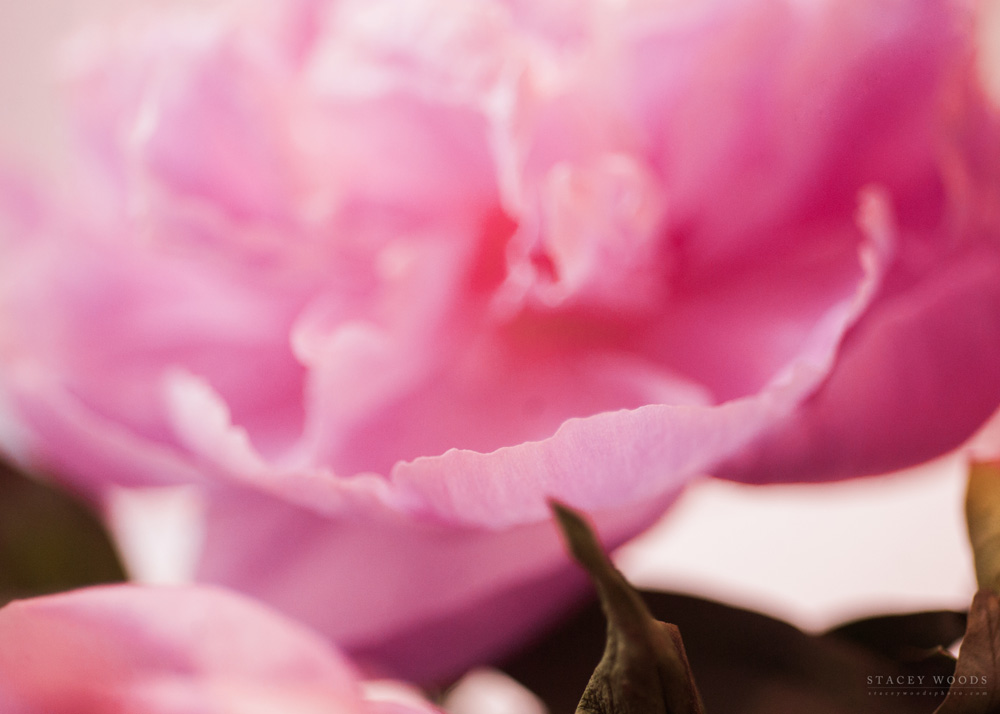 Pink Peony by Stacey Woods, Photographer