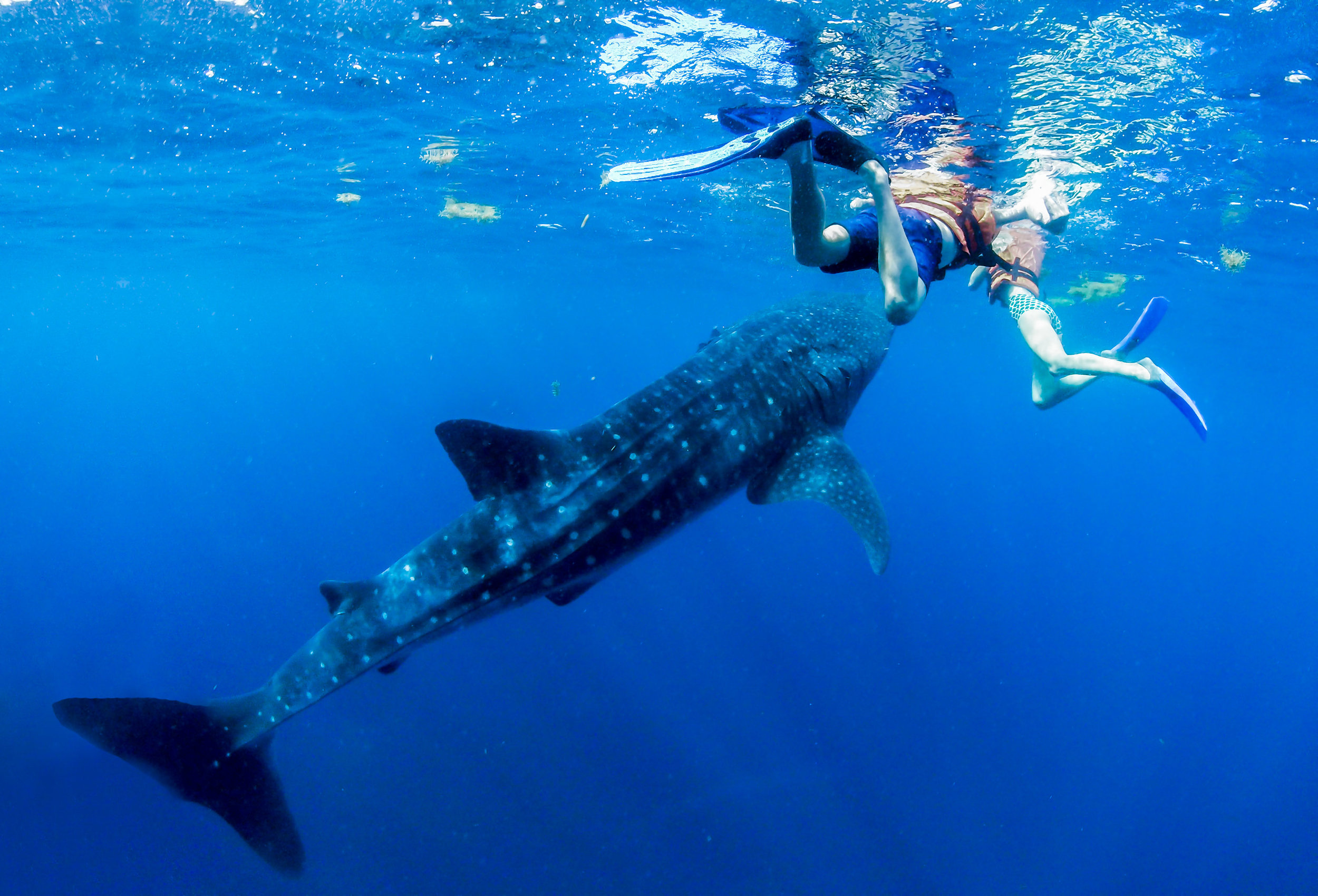 We had several chances to get close to the whale sharks.