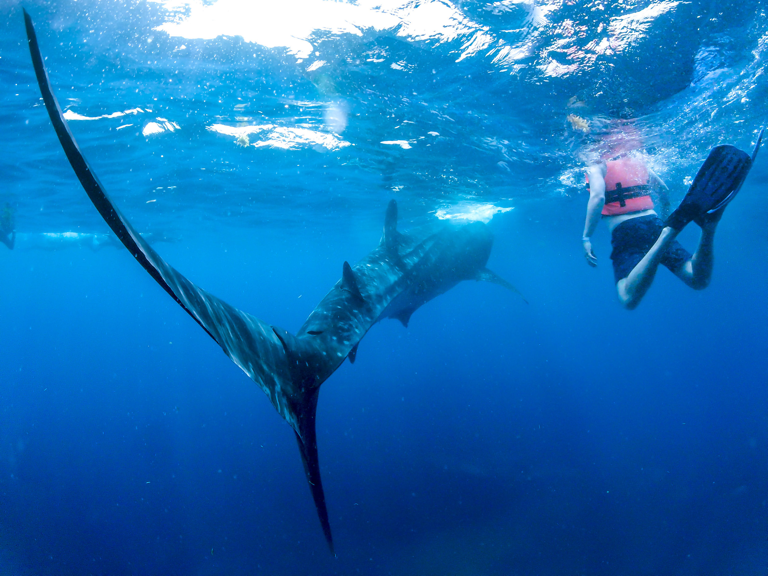 whale.shark12.jpg